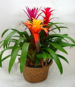 bromeliads in pot