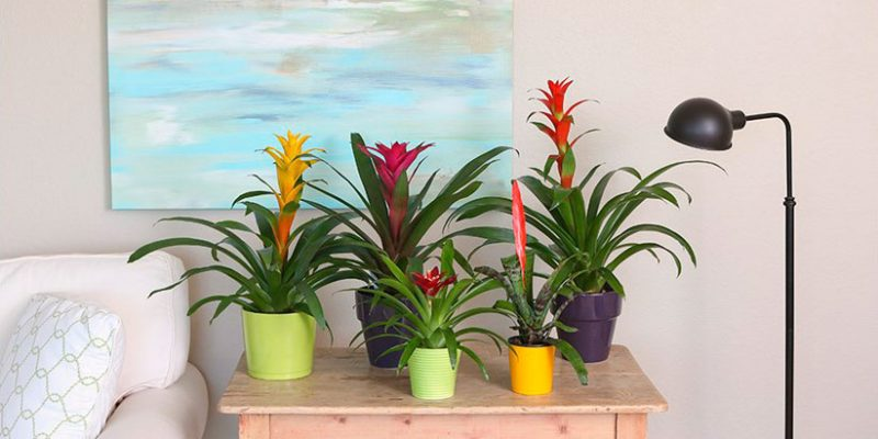 Tips for Using Bromeliads in Your Interior