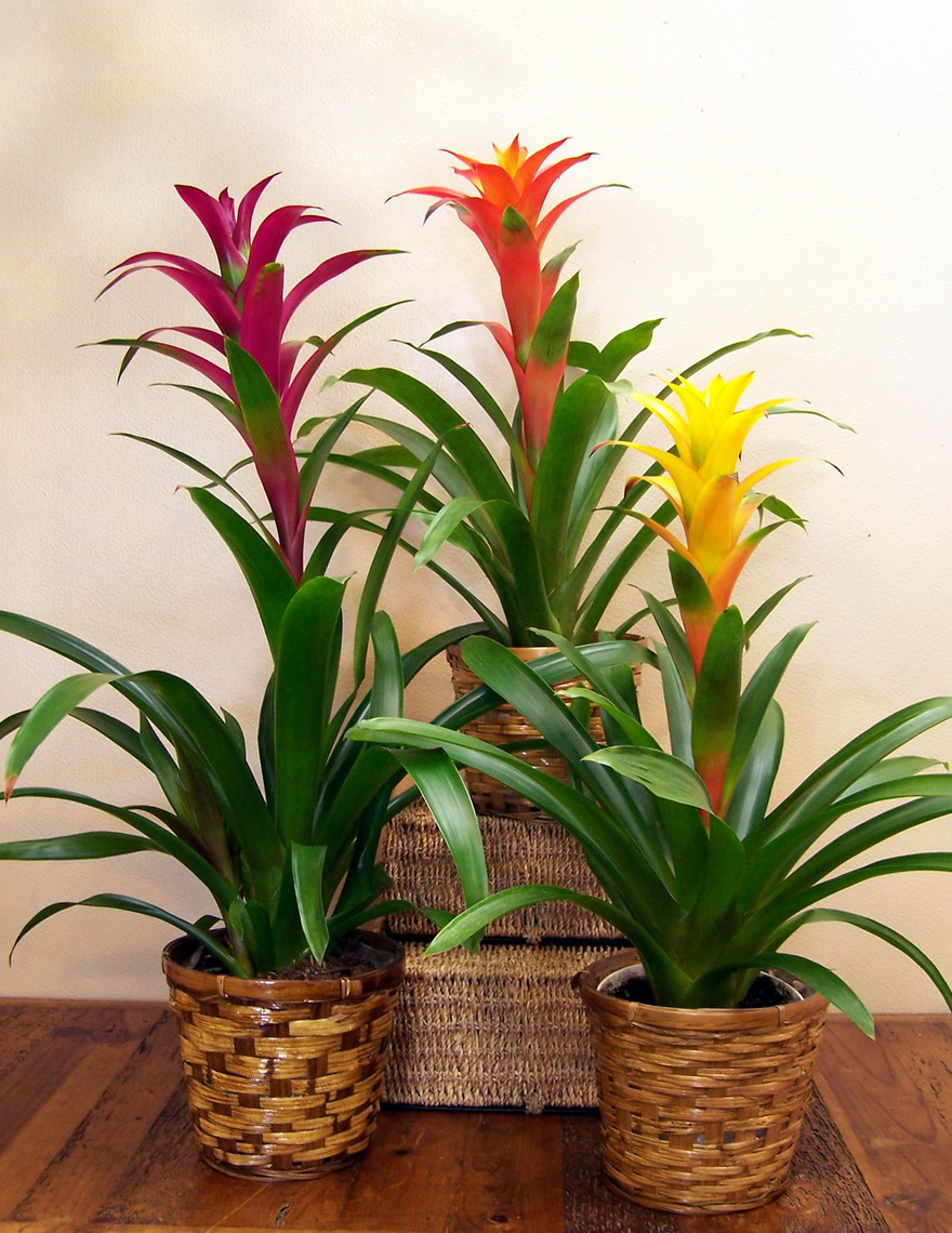 How to take care of your indoor bromeliads bromeliad for Maintenance of indoor plants