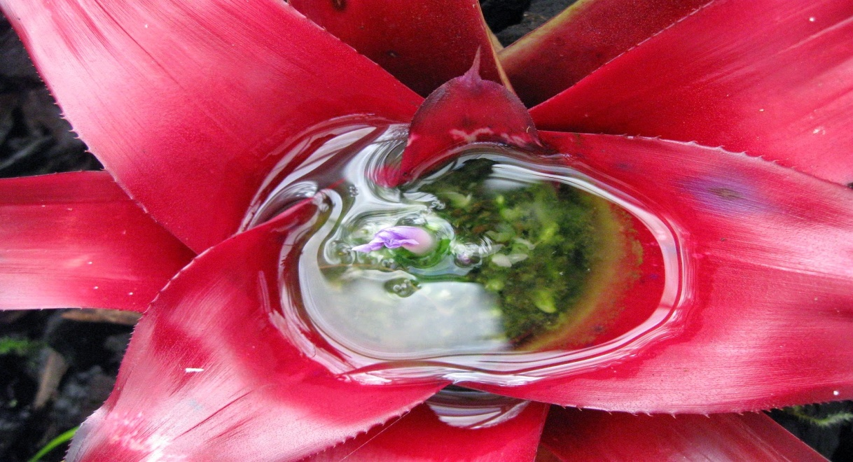 Watering the Bromeliad